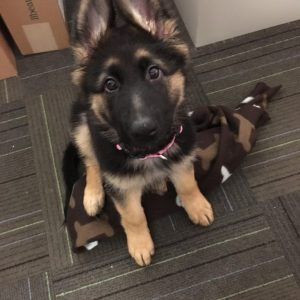 cute shepherd pup
