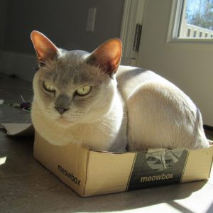 siamese in box