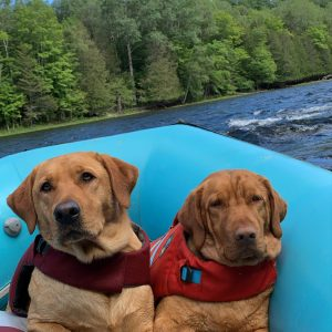 yellow labs in a boat