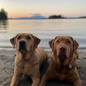 labs at the beach